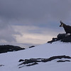 Chamois on the summit of Sisyphus