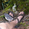 A robin, about to try to eat my toe