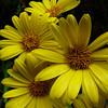 Yellow snow marguerites (Dolichoglottis lyalli)