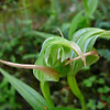 Greenhood orchid (Pterostylis sp., tutukiwi)