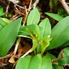 Green bird orchid (Simpliglottis cornuta)