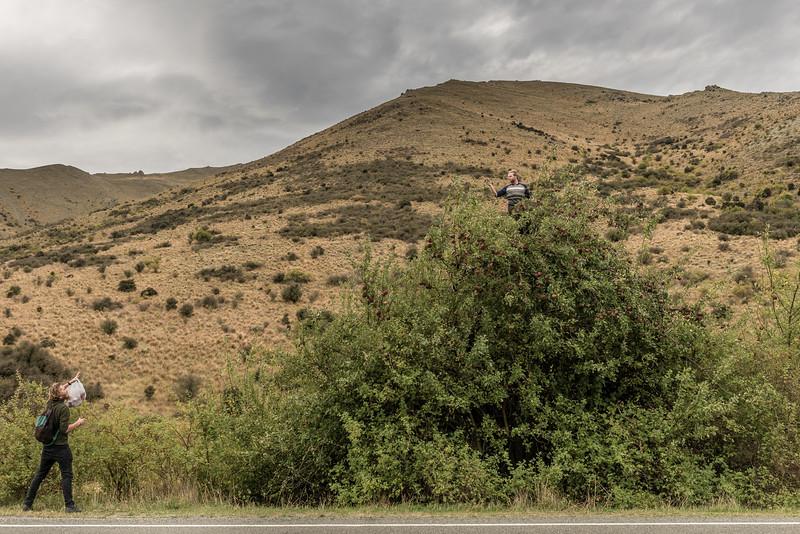 Apple picking, Waitaki Valley