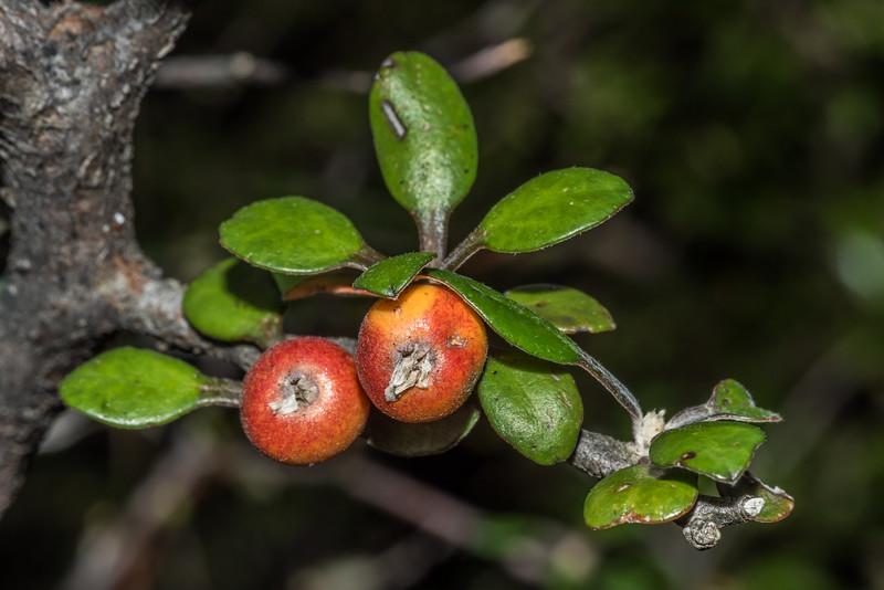 Wire-netting bush / korokio (Corokia cotoneaster). Sebastopol Bluffs, Tasman Valley.