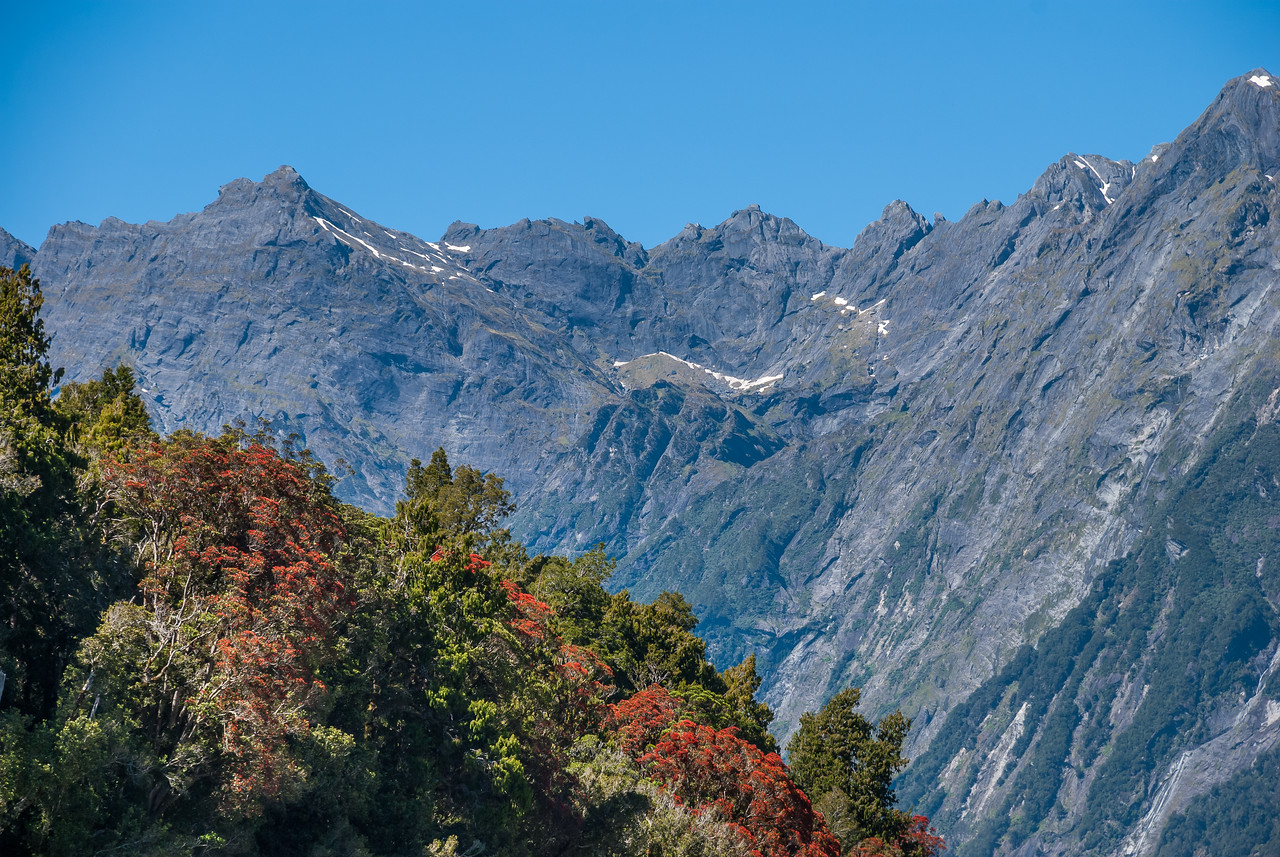 Flowering rata in the Karangarua. Jagged Spur in the Bare Rocky Range in the background.