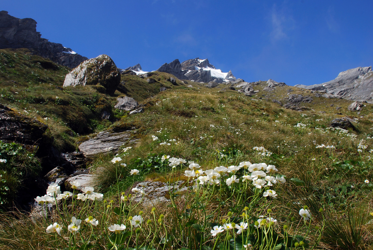 Alpine bloom on the slopes of Pioneer Peak, Douglas River