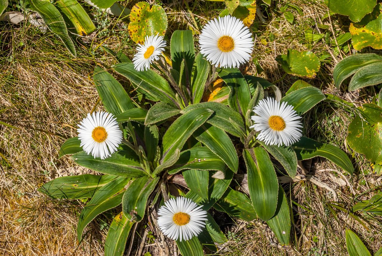 Mountain daisy (Celmisia verbascifolia) on the slopes of Pioneer Peak, Douglas River
