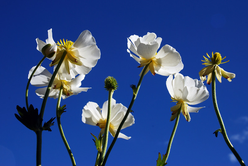 Mount Cook Lily (Ranunculus lyallii). Douglas River, Westland