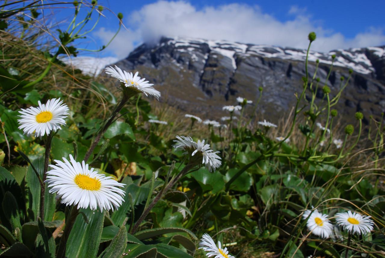Mountain daisy (Celmisia verbascifolia) on the slopes of Pioneer Peak, Douglas River. The Gladiator in the background