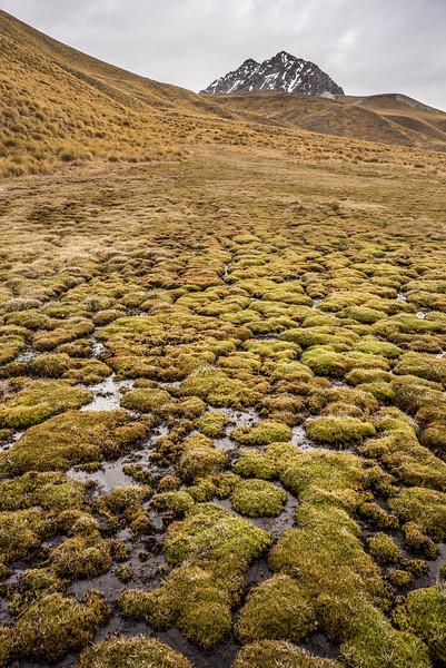 Combe sedge (Oreobolus pectinatus) cushions, Bush Stream.
