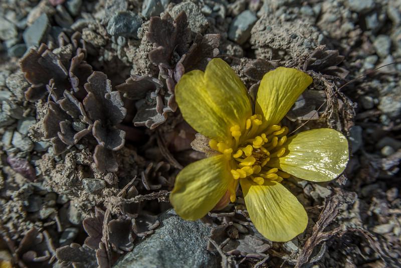 Scree buttercup (Ranunculus crithmifolius). Forest Creek Track, Sinclair Range
