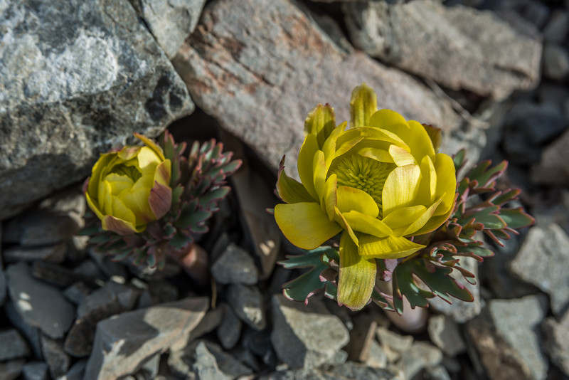 Haasts buttercup (Ranunculus haastii). Bush Stream, Two Thumb Range. An amazing plant capable of growing on dry, mobile scree slopes.