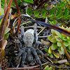 A female wolf spider (Lycosa spp.?) with eggsac. South Branch Ashburton River / Hakatere