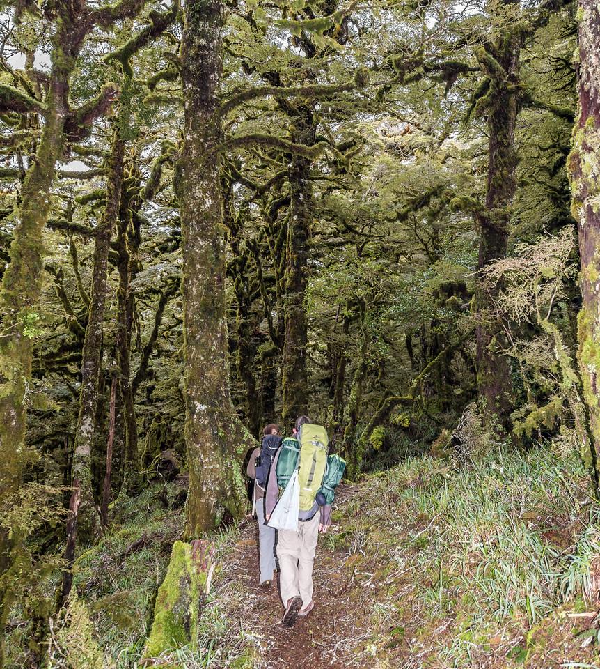 Trampers in high altitude forest on the Panekiri Range, Lake Waikaremoana Track.