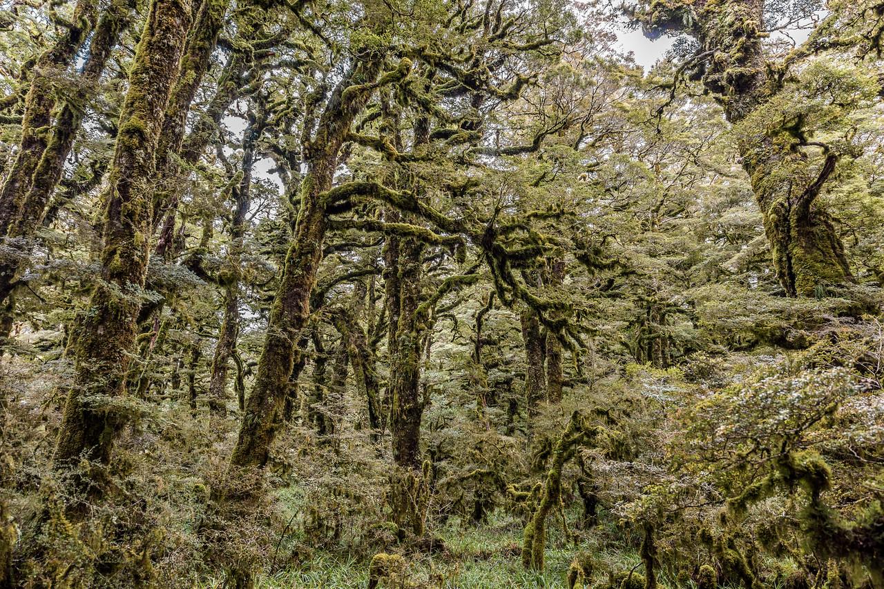 High altitude forest on the Panekiri Range, Lake Waikaremoana Track.