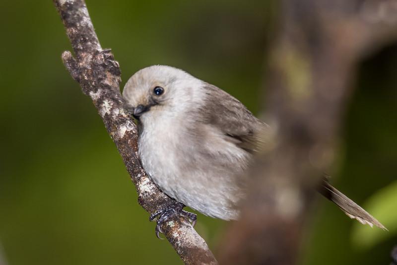 Whitehead / pōpokotea (Mohoua albicilla). Panekiri Range, Lake Waikaremoana Track, Te Urewera National Park.