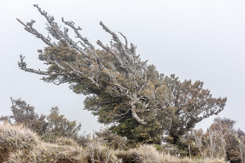 Silver beech / tawhai (Lophozonia menziesii). Bald Knob, Panekiri Range, Te Urewera National Park.