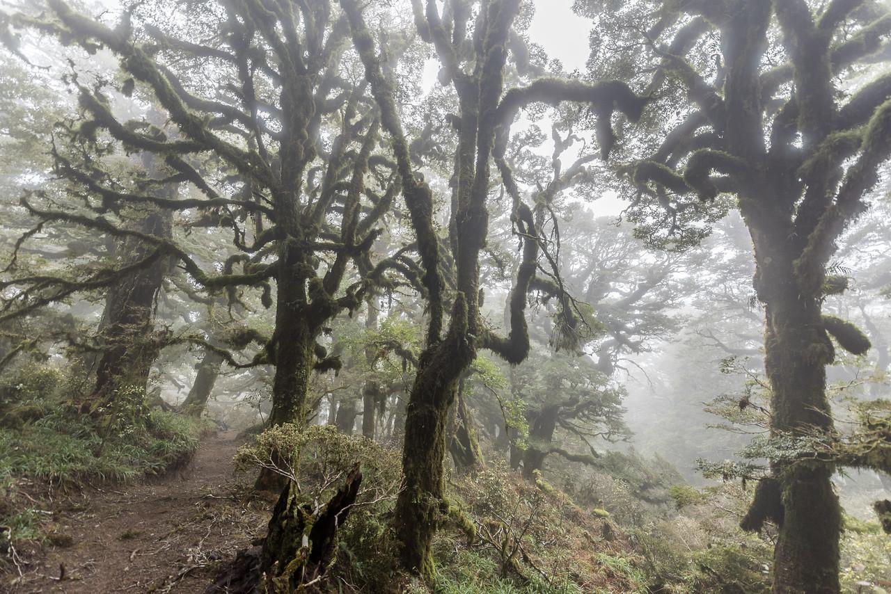 High altitude forest in mist, the Panekiri Range, Lake Waikaremoana Track.