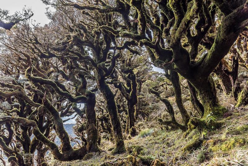 Silver beech / tawhai (Lophozonia menziesii) cloud forest on the Manuoha Track, Te Urewera National Park.