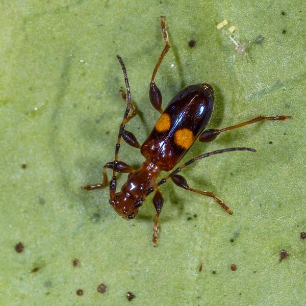 Flower longhorn beetle (Zorion australe). Whariwharangi Bay, Abel Tasman National Park.