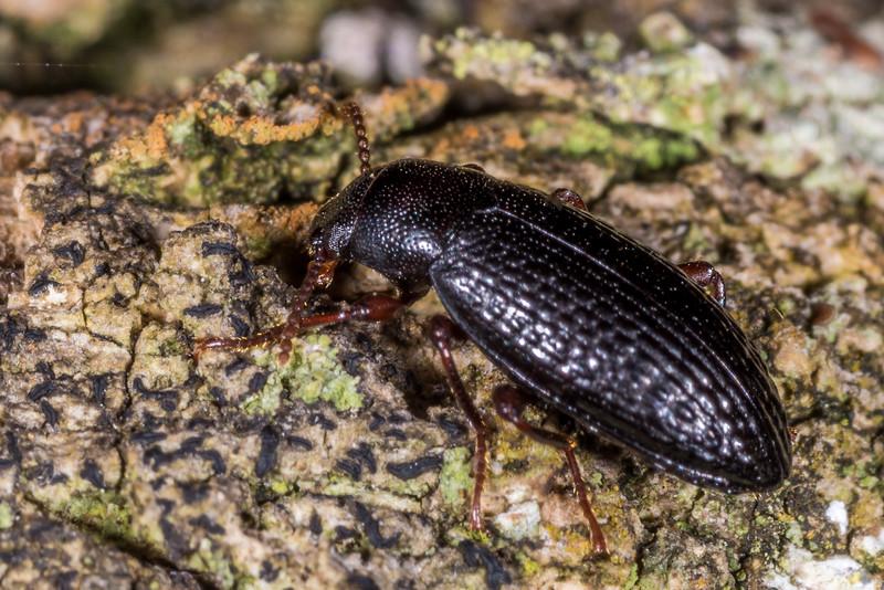 Lichen darkling beetle (Artystona wakefieldi). Whariwharangi Bay, Abel Tasman National Park.