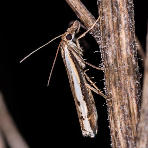 Grass moth (Orocrambus spp.). Whariwharangi Bay, Abel Tasman National Park.