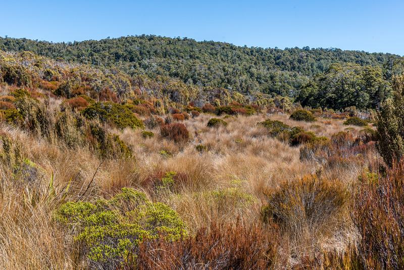 Red tussock (Chionochloa rubra subsp. rubra) clearings. Moa Park, Abel Tasman National Park.