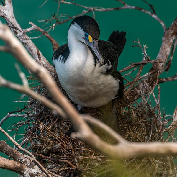 Nesting pied shag / kāruhiruhi (Phalocrocorax varius). Yellow Point, Abel Tasman National Park.