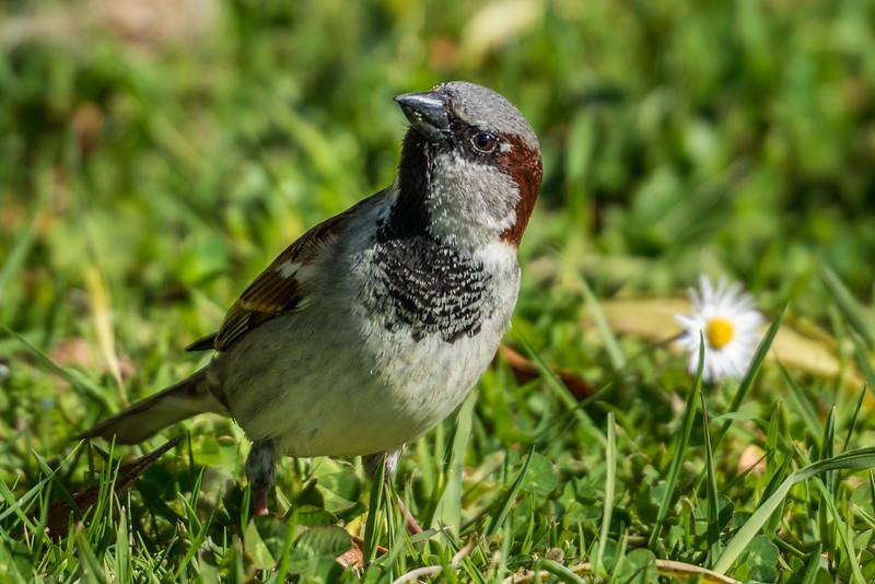 House sparrow (Passer domesticus). Marahau.