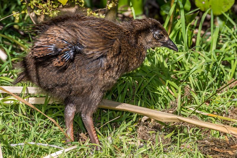 Weka (Gallirallus australis) juvenile. Whariwharangi Hut, Abel Tasman Coast Track.