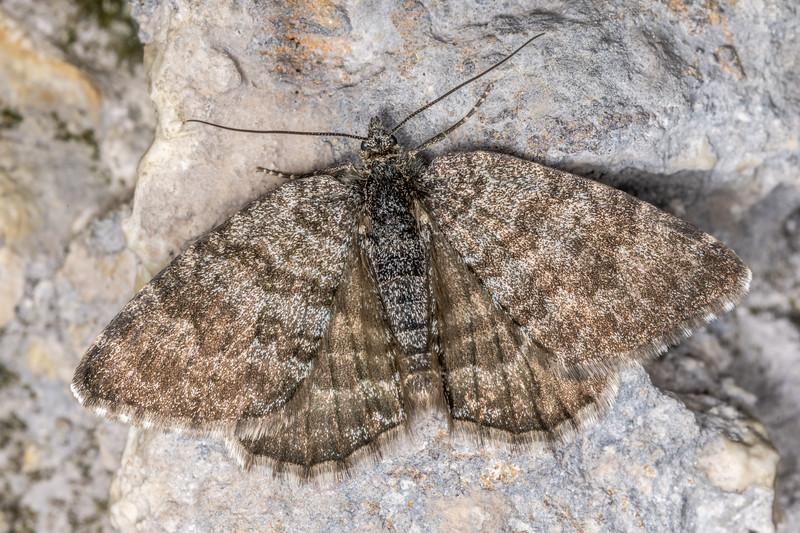 Looper moth (Dasyuris hectori). Poverty Basin, Mount Owen, Kahurangi National Park.