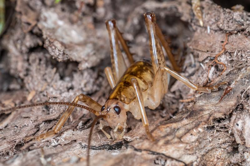 Cave wētā / tokoriro (Talitropsis sedilloti) adult female. Bulmer Creek, Mt Owen, Kahurangi National Park.