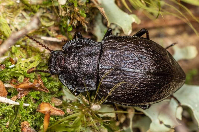 Darkling beetle (Zeadelium intricatum). Bulmer Creek, Mt Owen, Kahurangi National Park.