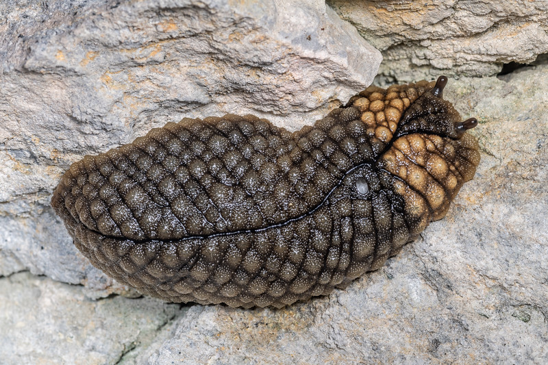 Giant leaf-veined slug (Pseudaneitea gigantea). Poverty Basin, Mount Owen, Kahurangi National Park.