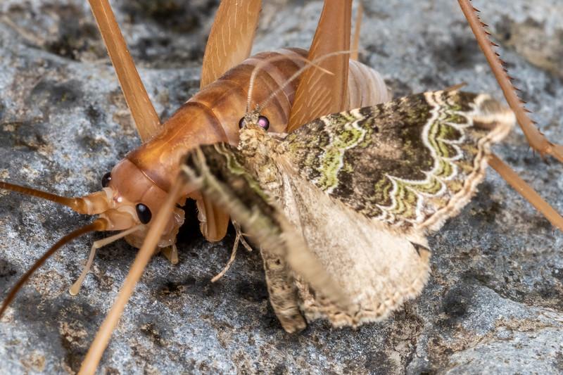 Cave wētā / tokoriro (Macropathus filifer) male photo bombed by a looper moth (Hydriomena rixata). Blue Creek, Mount Owen, Kahurangi National Park.