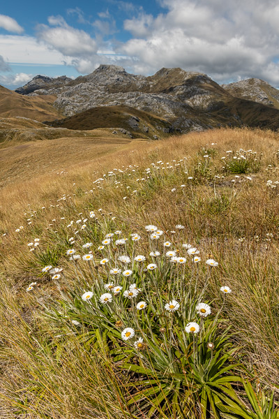 Petrie's Mountain Daisy (Celmisia petriei) and Mount Owen. Culliford Hill, Kahurangi National Park.