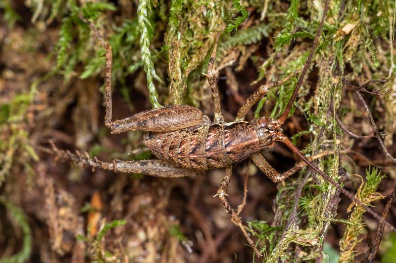 Cave wētā / tokoriro (Pleioplectron crystallae) adult male. Branch Creek Hut, Fyfe River, Kahurangi National Park.