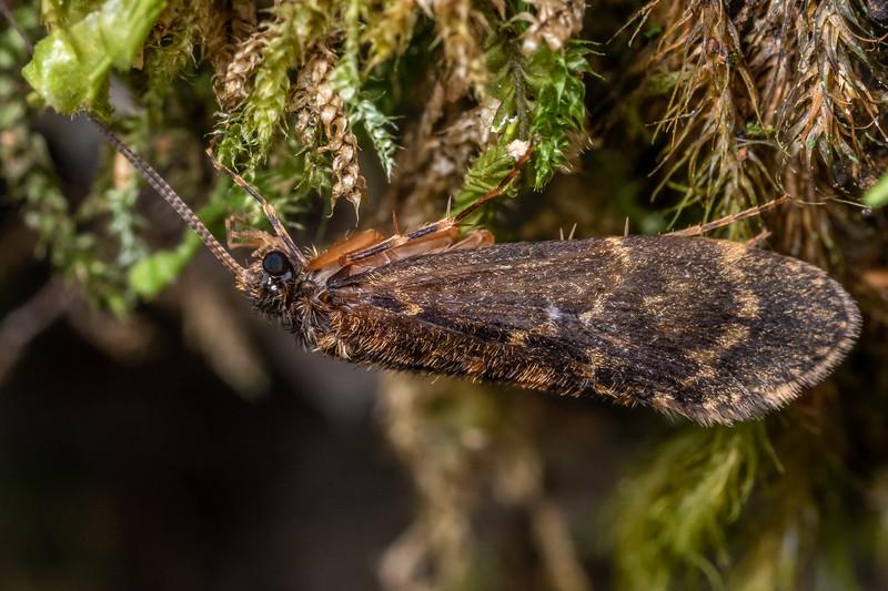 Caddisfly (Edpercivalia spp.). Bulmer Creek, Mt Owen, Kahurangi National Park.