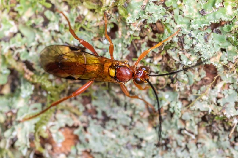 Ichneumonid wasp (Aucklandella spp. or Degithina spp.).  Branch Creek Hut, Fyfe River, Kahurangi National Park.