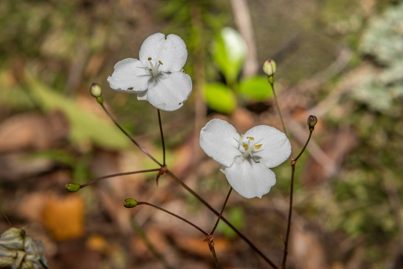 Mīkoikoi (Libertia grandiflora). Nydia Saddle, Nydia Track, Marlborough Sounds.