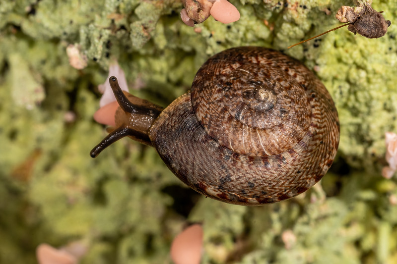 Land snail (Thalassohelix zelandiae). Nydia campsite, Nydia Bay, Marlborough Sounds.