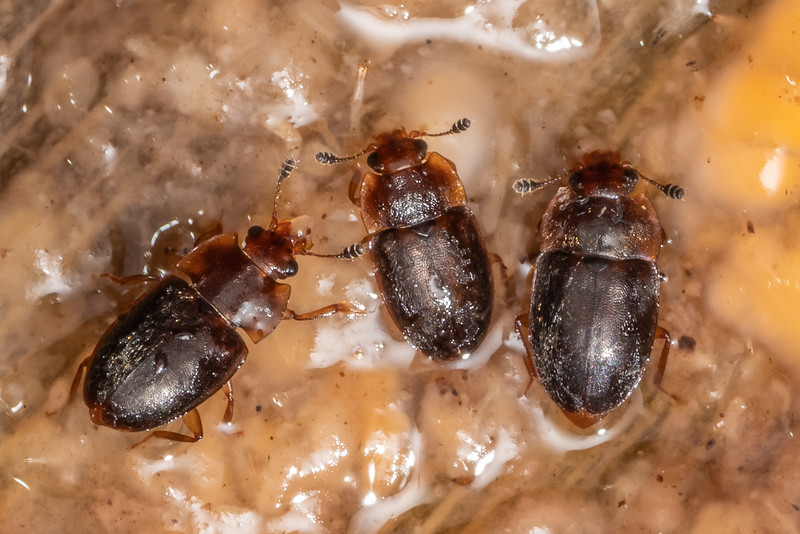 Sap-feeding beetles (Epuraea spp.). Duncan Bay, Tennyson Inlet, Marlborough Sounds.