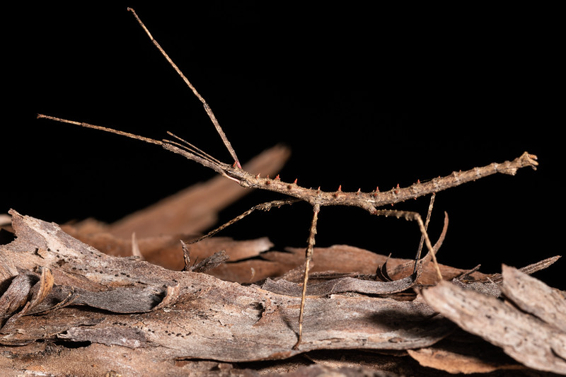 Stick insect (Micrarchus hystriculeus). Nydia Lodge, Nydia Bay, Marlborough Sounds.