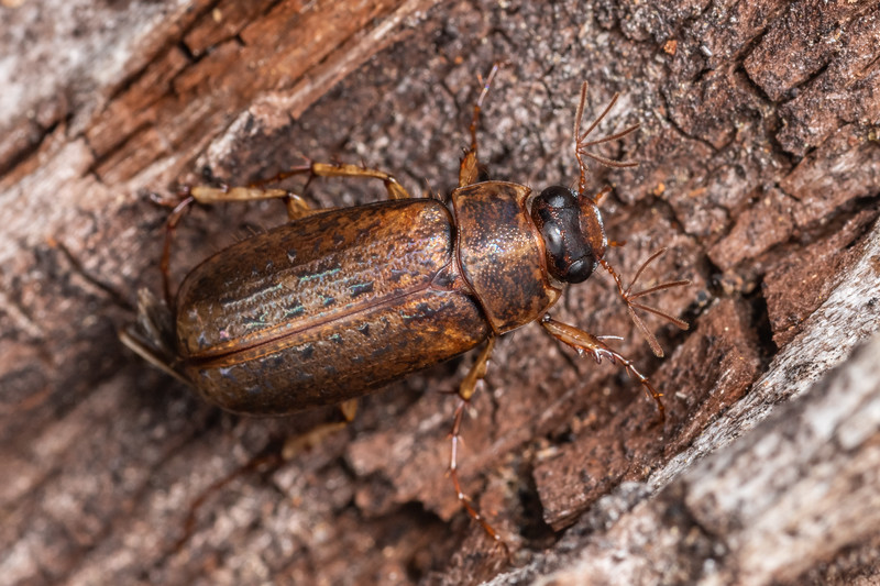 Chafer beetle (Sericospilus advena). Nydia campsite, Nydia Bay, Marlborough Sounds.
