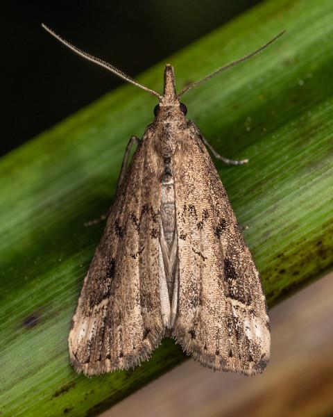 Pinion-streaked snout (Schrankia costaestrigalis). Nydia Lodge, Nydia Bay, Marlborough Sounds.