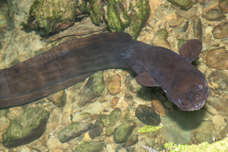 New Zealand longfin eel (Anguilla dieffenbachii). Nydia Bay, Marlborough Sounds.