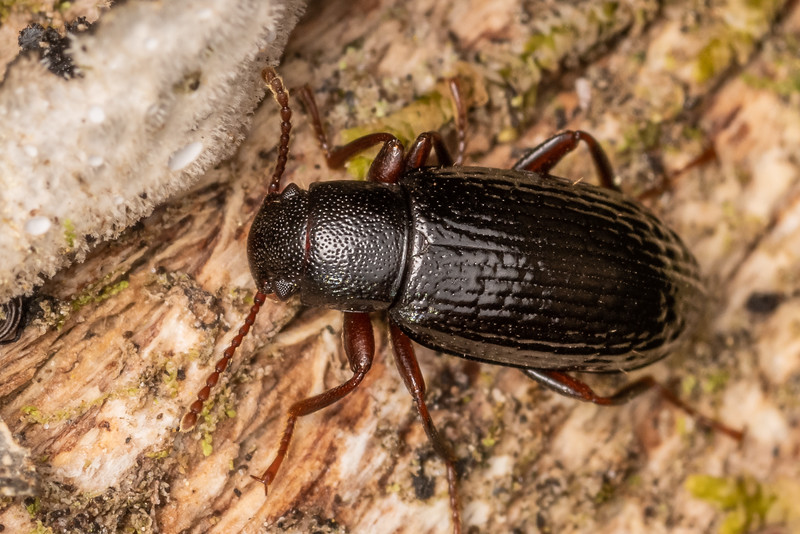 Lichen darkling beetle (Artystona rugiceps). Nydia campsite, Nydia Bay, Marlborough Sounds.