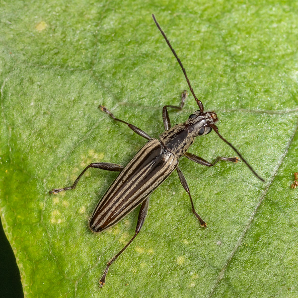 Longhorn beetle (Navomorpha sulcata). Duncan Bay, Tennyson Inlet, Marlborough Sounds.