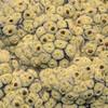 Vegetable sheep (Raoulia eximia)