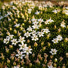 Cushion Bog flowers