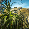 Mountain neinei (Dracophyllum traversii)
